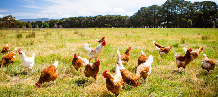 Arcos Dorados inicia la transición para servir huevos de gallinas criadas libres de jaulas en Brasil